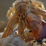 Amazing Crabs Shell Exchange | Life Story | BBC Earth