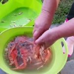 How to cook Blue Swimmer Crabs by steaming them. Part Two