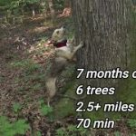 7 month old mountain cur treeing squirrels